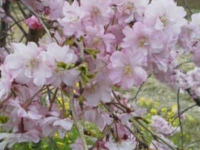 川沿いの垂れ桜