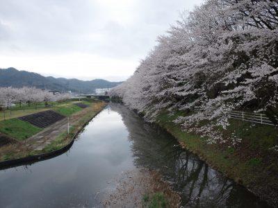 桜、満開!